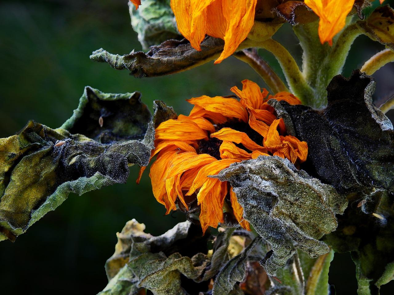 sun-flower-1592910_1280